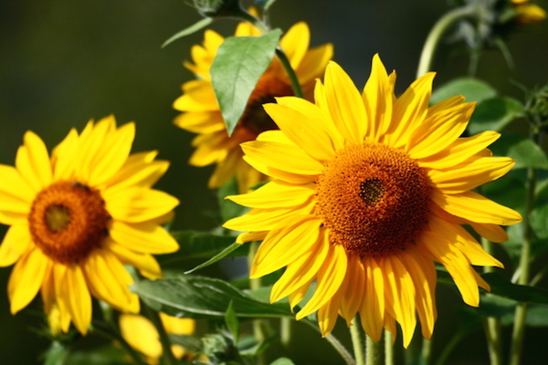 sunflowers-1322544-639x426