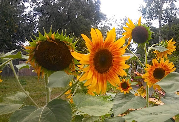1u sunflowers